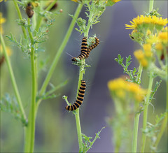 Cinnabar moth caterpillars on Ragwort, Lower Smite Farm, Worcestershire (alanhitchcock49) Tags: worcestershire wildlife trust lower smite farm droitwich 10 july 2017 evening visit by webheath digital photography club summer ragwort cinnabar moth caterpillars macro