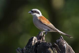 Red- Backed Shrike - Male