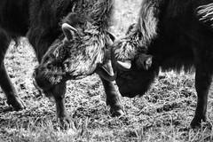 fight (cMonk3y) Tags: animal animals tier tiere wisent bison european euro europa europeanbison bisonbonasus bonasus black white blackandwhite blackwhite sw schwarzweis schwarz weis fight kampf young woodbison sony sonyalpha a6000 alpha alpha6000 wild wildlife natur nature