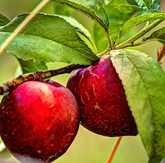 Nectarines (JoelDeluxe) Tags: southvalley newmexico nm deluxevalleyorchards peaches flowers red orange yellow green joeldeluxe