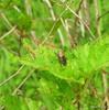 DSCN1583 (Henryr10) Tags: beetle edgeofappalachia lynxprairietrail edgeofappalachialynxprairietrail lynxprairiepreserve adamscountyohio metallicwoodboringbeetle