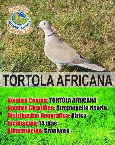 Tortola africana rgb