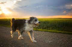 Sun Dog (Lori Bote) Tags: sunset countryroad rescuedog largedog dogportrait trotting ball dogplay furry canine furrycanine workingcollie beardedcollie collie girdroad settingsun rurallandscape prouddog