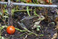 Garden Guest (timvandenhoek1) Tags: frog bullfrog amphibian garden tomato cherrytomato tomatocage callawaycounty missouri midwest guest visitor yard backyard