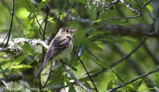 Pacific-slope Flycatcher (Empidonax difficilis) PSFL - Looks Melancholic...