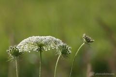 beautiful weeds (photos4dreams) Tags: gersprenz08072017p4d gersprenz münster hessen germany naturschutz nabu naturschutzgebiet photos4dreams p4d photos4dreamz nature river bach flus naherholung
