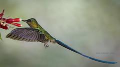 Violet-tailed Sylph, flight (rickdunlap2) Tags: aglaiocercuscoelestis violettailedsylph hummingbird bird animal ecuador wildlife tandayapabirdlodge