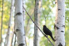 Black on Green (jttoivonen) Tags: nature outdoors finland creativecommons bird animal bokeh green summer vintagelens birch trees