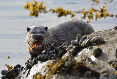 Otter (Cant Beat The Drumm) Tags: ardnamurchan otter wildlife setting sun eating fish sea seaweed rocks clams water close scotland experience highlands