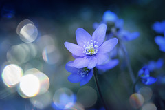Natura meravigliosa (C-Smooth) Tags: hepaticanobilis anemone bokeh