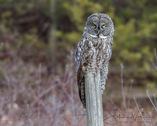 Great Gray Owl on Post