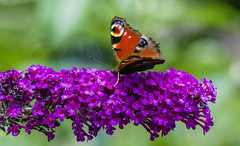 Just hungry. (ost_jean) Tags: butterfly nature flowers colors nikon d5200 tamron sp 90mm f28 di vc usd macro 11 ostjean vlinder papillon