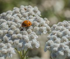 Resting Lady. (Omygodtom) Tags: elitebugs existinglight white red bug ladybug insect rural natural nikkor nikon d7100 dof tamron90mm macro bokeh