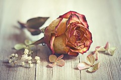 Roses are fragile (Through Serena's Lens) Tags: 52stilllifes fragile rose dried flower dof pov tabletop bokeh textures stilllife