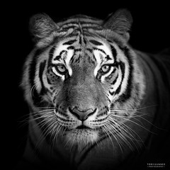 DSC_5376 B&W Crop (TDG-77) Tags: nikon d750 70200mm f28 vrii bengal tiger big cat animal wildlfie
