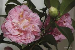 CAMELIAS (NELIDA RICHI FOTOGRAFIA) Tags: canon 60d eos 1855mm camelia jardin fiori flower garden fleur planta arbusto naturaleza nature airelibre teácea