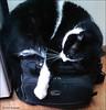 """ I Love Lowpro,...It's Purrrfect !! "" (John Neziol) Tags: jrneziolphotography nikon nikondslr nikoncamera nikond80 cute kitty feline cat closeup brantford lowpro lowprocamerabag funny funnycat petphotography petphotographer pet"