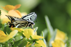 Papilio Machaon (Johnnie Shene Photography(Thanks, 2Million+ Views)) Tags: papiliomachaon papilio swallowtail butterfly swallowtailbutterfly perching resting awe wonder sideview macro closeup magnified adjustment interesting feeding feeler behaviour korea asia yellow flower plant flora wings limbs nature natural wild wildlife livingorganism tranquility modified photography horizontal outdoor colourimage fragility freshness nopeople foregroundfocus fulllength parallel spring day daylight animal insect bug lepidoptera fly affection delicate sumptuous alluring gorgeous fabulous canon eos80d 80d tamron 90mm f28 11 lens 호랑나비 나비 곤충 접사 매크로 산호랑나비