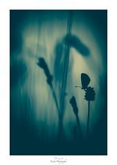 In the Blue Dream (Naska Photographie) Tags: naska photographie photo photographe paysage proxy proxyphoto printemps papillon macro macrophotographie macrophoto extérieur butterfly butterflie insectes blue monochrome minimaliste minimalisme silhouette ombre chinoise chinoiserie nature color couleur bokeh flare flou imaginaire imaginarium landscape