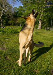 Harley Snapping Flies (Thomas Muir) Tags: tommuir germanshepherd dog gsd nikon perrysburg ohio wood county d3s male handsome outdoor
