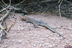 Rock, paper, scissors (Jeff Mitton) Tags: sideblotchedlizard themaze canyonlands utah coloradoplateau lizard earthnaturelife wondersofnature