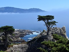 Pebble Beach Tree (Kevin Shriner) Tags: pebblebeach monterey montereybay humpbackwhale whale seaotter sealion dolphin scenic nature pacificocean pacific golf golfcourse ocean wildlife sea tail fins california