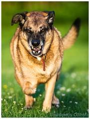 German Shepherd Dog (bo foto) Tags: germanshepherd dog dogs teeth cancer bonecancer nikon dogphotographer duitseherder herder hond honden
