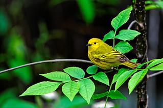 Paruline jaune / Yellow Warbler / Dendroica pinus
