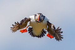 Puffin (Simon Stobart) Tags: puffin fratercula arctica flying nearmiss northeastengland ngc naturethroughthelens npc