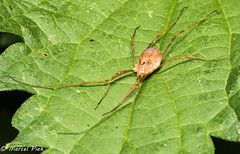 Daddy longlegs spider laying flat on a leaf - Hooiwagen plat op een blad (CapMarcel) Tags: daddy longlegs spider laying flat leaf hooiwagen plat op een blad spinachtige two eyes