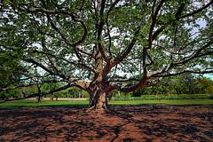 Plane Tree. Rock Garden - Royal Botanical Gardens, Ontario. (Iskou-Hee) Tags: platanus planetree tree treesubject trees rbg burlington tall nature naturesfinest iskouhee