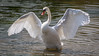 Swan-0012.jpg (vorneo) Tags: bird swan familyanatidae wildbird kingdomanimalia orderanseriformes wild genuscygnus muteswan classaves binomialnamecygnusolor speciescolor phylumchordata