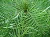 Wollemia Nobilis . 20.08.2011 (NashiraExoticGarden) Tags: wollemianobilis exoticgarden exotentuin 20082011