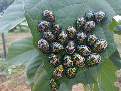 Scutelleridae - Jewel bug (ಶಾಂತಿ ಧಾಮ - Shānti Dhāma) Tags: scutelleridae jewelbug bug shntidhama facemasklikebug bugsoncordialeaf