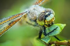 Gut gekühlt (stef7612) Tags: libelle makro focusstacking insekt natur wildlife tau morgentau dragonfly insect nature wildesmoos tautropfen dewdrops bayern bavarianwildlife macro