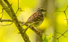7K8A9633 (rpealit) Tags: scenery wildlife nature swartswood state park whitethroated sparrow bird