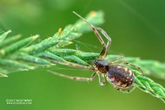 Sheet weaver spider (Linyphiidae) - DSC_5380 (nickybay) Tags: macro malaysia pahang frasershill bukitfraser spider sheet web linyphiidae weaver