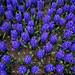 Blue flowers in Keukenhof garden in Amsterdam