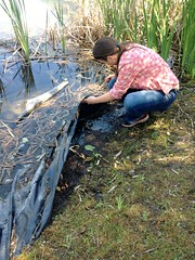 Catherine inspects a treatment site from 2016 (BC Wildlife Federation's WEP) Tags: wetlandkeepers yellowflagiris bcwf workshop education wep wetlandseducationprogram invasive species control research wetland bcwildlifefederation cheamlake cheam rosedale chilliwack
