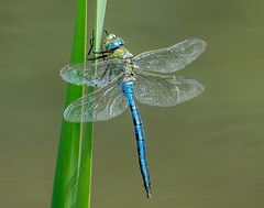 JWL1684  Emperor.. (jefflack Wildlife&Nature) Tags: emperordragonfly dragonfly dragonflies odonata insects insect wildlife wetlands lakes marshland marshes ponds reeds reedbeds nature countryside ngc npc