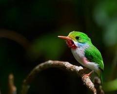 Cuban Tody _Todus multicolor (Kremlken) Tags: endemics cubanendemic todidae soroa pinardelrio birds birding neotropical