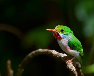 Cuban Tody _Todus multicolor