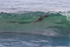 Inverted Surfer (charles25001) Tags: sealion sealions pinnepeds marinemammals wildlife pacific surfing frolic play playtime sandiego