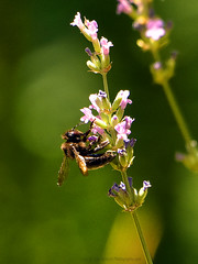 "Carpenter_Bumble_Bee_.01 (DonBantumPhotography.com) Tags: wildlife nature insects ""donbantumphotographycom"" ""donbantumcom"" ""nikon d7200"" ""afs nikkor 200500mm f56e ed vr"" carpenterbumblebee"