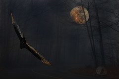 Turkey vulture (firstlookimages) Tags: nature natureportrait nightphotography vulture turkeyvulture art artistic artisticmanipulation digitalmanipulation digitalart digitalphotography detail wildlife wildlifeportraits moon forest fog mist color outdoors night hss
