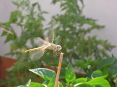Libélula (Joaquim F. P.) Tags: nikon p300 compacta compact salou tarragona catalunya spain coolpix libélula insecta insecto odonato odonata fauna natura nature sympetrumfonscolombii