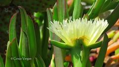 yellow world (✿ Graça Vargas ✿) Tags: carpobrotusedulis chorãodaspraias graçavargas ©2017graçavargasallrightsreserved flower yellow 12807140717 barcelona espanha spain