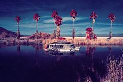 color infrared. zzyzx, ca. 2016. (eyetwist) Tags: eyetwistkevinballuff eyetwist zzyzx color infrared eir mojavedesert california nikon n90s nikkor 28105mmf3545d 28105mm infracolor bw099 099 kodak ektachromecolorinfrared lenstagger ishootfilm ishootkodak film analog analogue emulsion coolscan iconla mojave desert southwest usa palmtrees palm trees laketuendae healthspa springs sodalake reeds falsecolor landscape palms tuichub lake pond water oasis aerochrome 35mm preserve mnp
