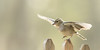 La plus haute marche du podium (M@rcassin) Tags: pinson pinsondesarbres fringillacoelebs commonchaffinch chaffinch tentilhãocomum buchfink fringuellocomune fringuello oiseau bird ave ornithologie ornithology photo photography animal animaux wild wildlife nature nikon nikond750 nikkor tamron tamron150600 alpesmaritimes alpes lumière light bokeh