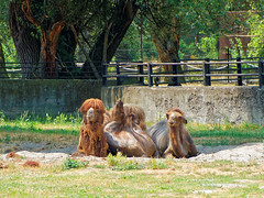 Bactrian Camel (Camelus bactrianus) - Dvogrba deva (atroha) Tags: bactriancamel camelusbactrianus dvogrbadeva croatia osijek osijekzoo slavonia